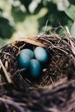 Nest, eggs