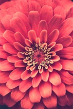 Preview iPhone wallpaper One pink zinnias flower macro photography