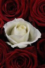Uma rosa branca, muitas rosas vermelhas