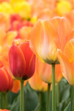 Preview iPhone wallpaper Orange and red tulips flowers