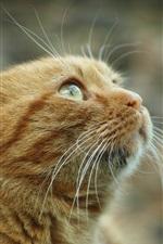 Preview iPhone wallpaper Orange cat look up, curiosity