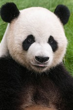 Preview iPhone wallpaper Panda sit on grass, look at you