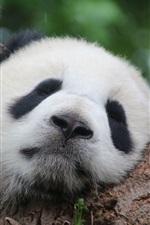 Panda sleeping in tree