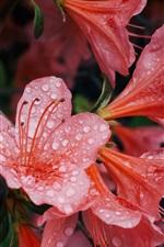 iPhone обои Розовые цветы азалии, капли воды