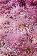 Preview iPhone wallpaper Pink chrysanthemums background
