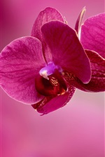 Preview iPhone wallpaper Pink phalaenopsis, pink background