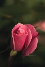 Preview iPhone wallpaper Pink rose bud, bokeh