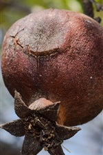 Preview iPhone wallpaper Pomegranate tree, ripe fruit