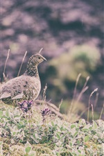 Preview iPhone wallpaper Quail in the grass, bird close-up