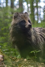 Preview iPhone wallpaper Raccoon dog, forest