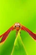 Red dragonfly rest, wings, green background