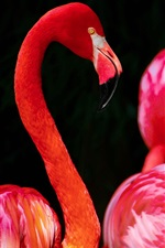 Preview iPhone wallpaper Red feather bird, flamingo, black background