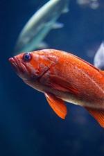 Red fish, underwater