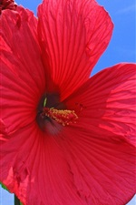 Preview iPhone wallpaper Red hibiscus flower, blue sky