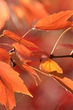 Preview iPhone wallpaper Red leaves, twigs, autumn