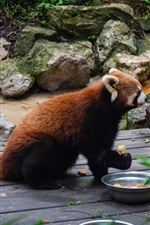 Preview iPhone wallpaper Red panda, food, zoo