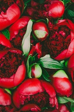 Preview iPhone wallpaper Red peony flowers, bouquet