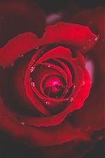 Preview iPhone wallpaper Red rose close-up, dew, black background