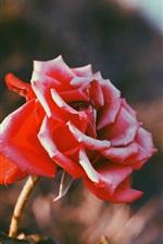 미리보기 iPhone 배경 화면 빨간 장미, 햇빛