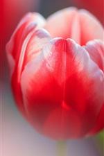 Preview iPhone wallpaper Red tulip macro photography, bokeh