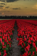 Preview iPhone wallpaper Red tulips field, dusk