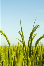 Preview iPhone wallpaper Rice field, blue sky