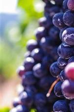 Ripe purple grapes, fruit