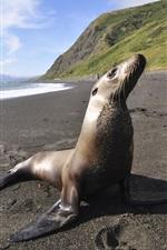 Preview iPhone wallpaper Sea animals, seal, beach, sea