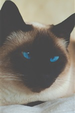 Preview iPhone wallpaper Siamese cat, blue eyes