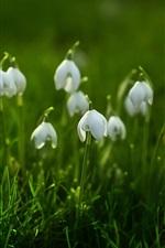 Snowdrops, green grass