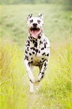 Preview iPhone wallpaper Spotted dog running, summer, grass