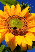 Preview iPhone wallpaper Sunflower photography, bee, blue sky