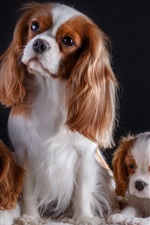 Vorschau des iPhone Hintergrundbilder Drei Hunde, nette Haustiere