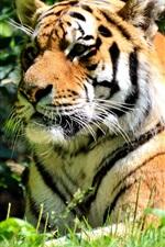 Preview iPhone wallpaper Tiger rest, big cat, grass