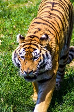 Preview iPhone wallpaper Tiger walk in grass