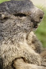 Preview iPhone wallpaper Two marmots face to face