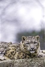 Two snow leopard, predators, rest