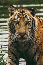 Preview iPhone wallpaper Wet tiger in water, look at you
