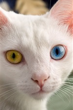 Preview iPhone wallpaper White cat, face, different color eyes, yellow and blue