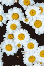 White daisies flowers background