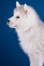 White dog side view, blue background