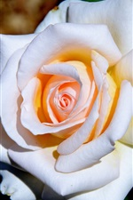 Preview iPhone wallpaper White petals rose, sunshine