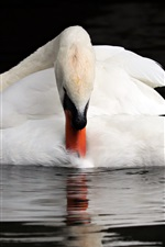 Preview iPhone wallpaper White swan, water, animal photography