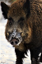 Preview iPhone wallpaper Wild pig, snout, snow, winter