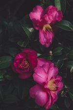 Preview iPhone wallpaper Wild roses, leaves
