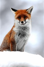 Preview iPhone wallpaper Wildlife, fox, snow, winter