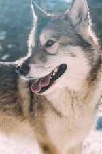 Preview iPhone wallpaper Wolf look back, snow, winter