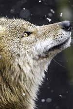 Preview iPhone wallpaper Wolf, yellow eyes, predator, snow