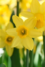 Preview iPhone wallpaper Yellow daffodil close-up photography
