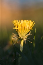 Preview iPhone wallpaper Yellow dandelion flower, grass, blurry